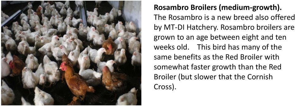 Rosambro broilers are grown to an age between eight and ten weeks old.