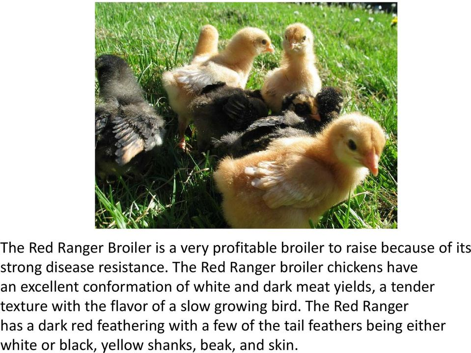 The Red Ranger broiler chickens have an excellent conformation of white and dark meat yields, a