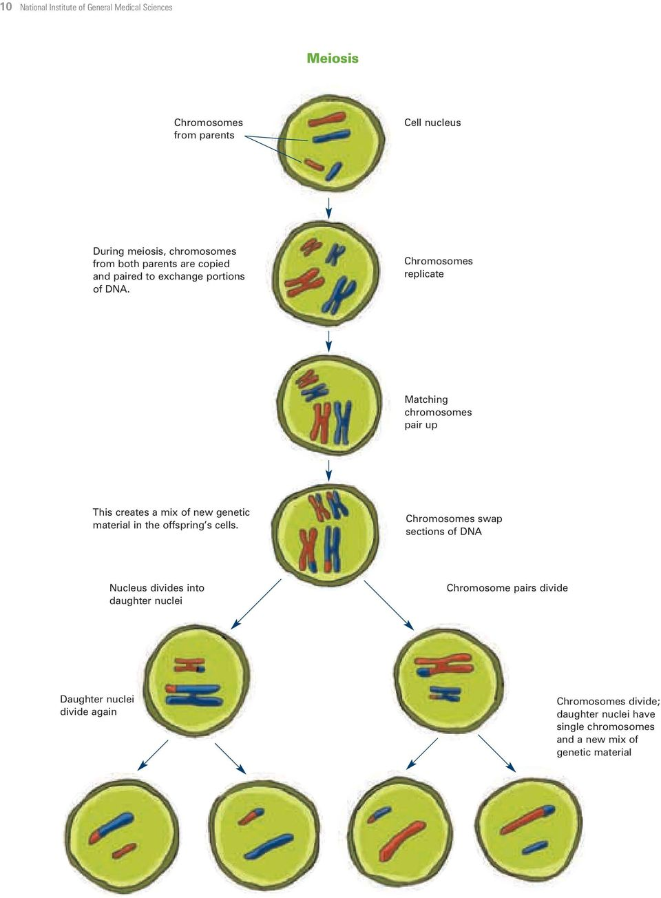 Chromosomes replicate Matching chromosomes pair up This creates a mix of new genetic material in the offspring s cells.