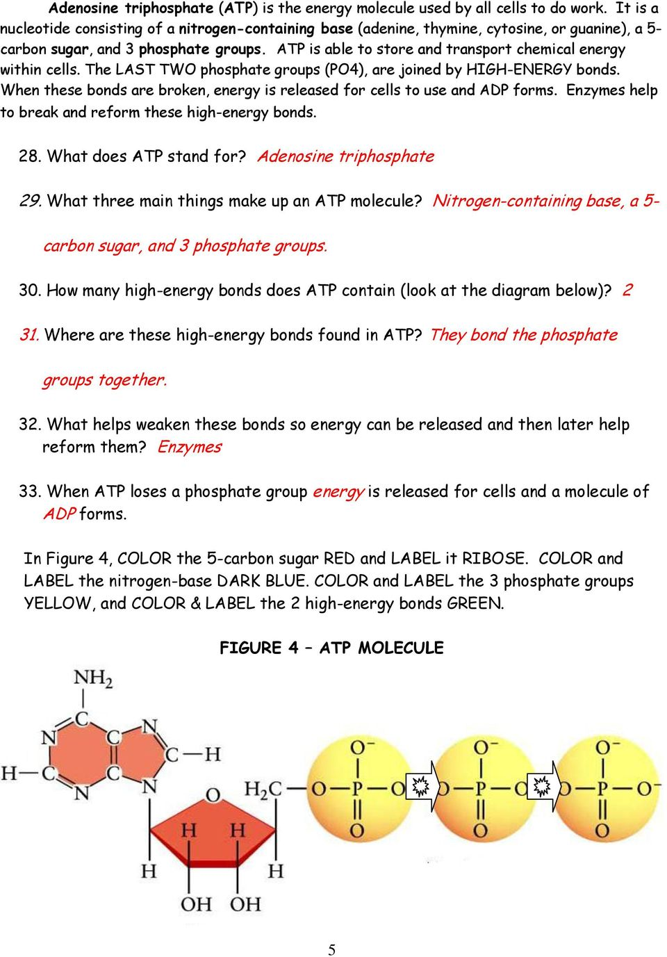 Printables Atp Worksheet atp worksheet bloggakuten diagram cellular respiration worksheet