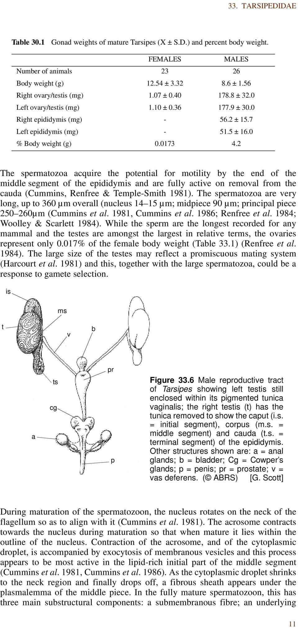2 The spermatozoa acquire the potential for motility by the end of the middle segment of the epididymis and are fully active on removal from the cauda (Cummins, Renfree & Temple-Smith 1981).