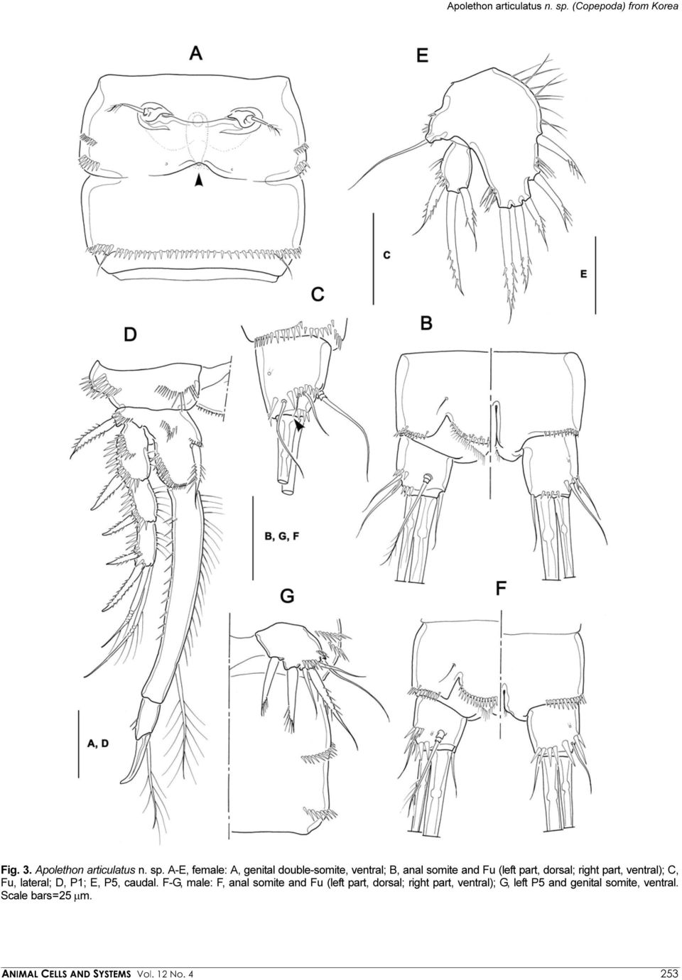 A-E, female: A, genital double-somite, ventral; B, anal somite and Fu (left part, dorsal; right part,