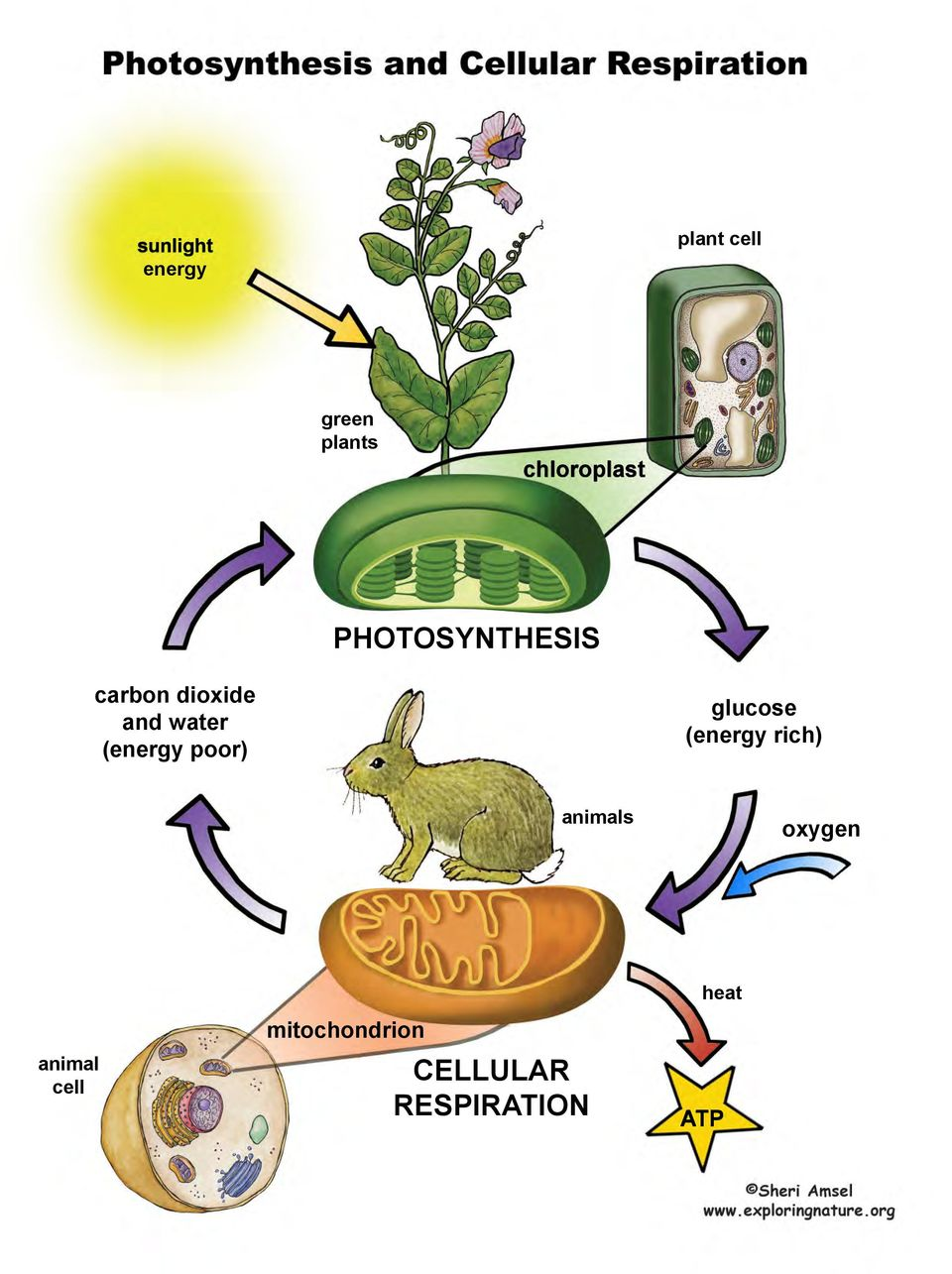 photosynthesis cellular respiration Photosynthesis and respiration support life photosynthesis makes energy and respiration uses it.