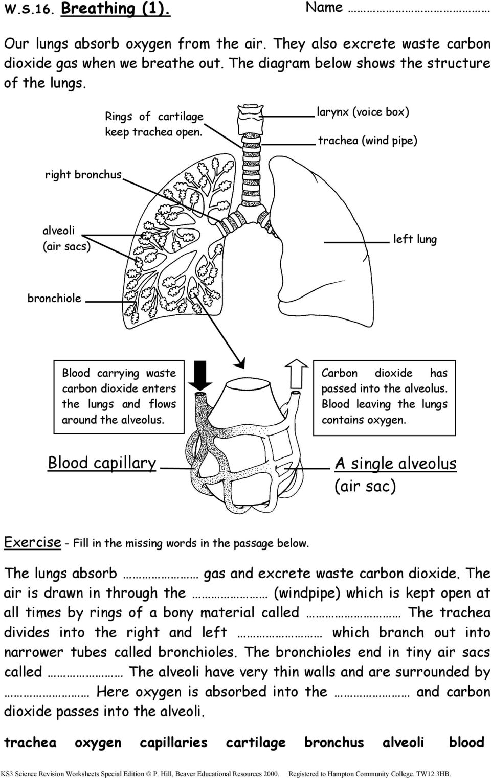 Ks3 science revision worksheets pdf larynx voice box trachea wind pipe right bronchus alveoli air sacs ccuart Images
