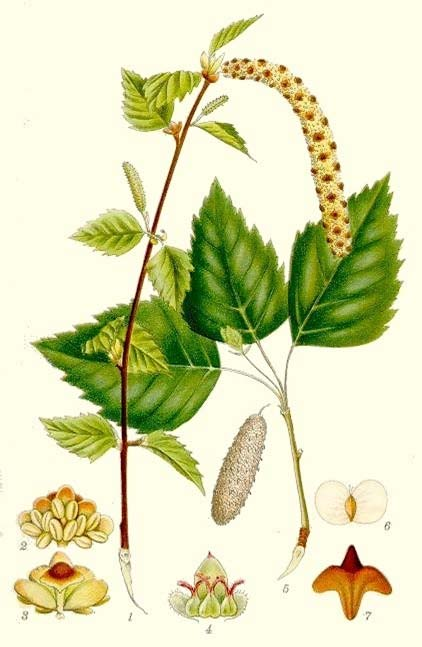 etulaceae IRH Trees or shrubs Leaves simple, spiral () Leaf margin with teeth () Inflorescences unisexual; male: hanging catkin (), female: short upright catkin () Flowers wind-pollinated, unisexual