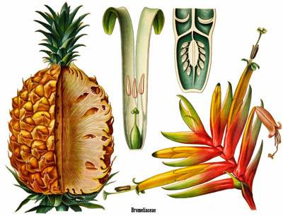 racts often brightly colored () Tepals 6 Fruit a berry or capsule (multiple fruit in pineapple) Puya