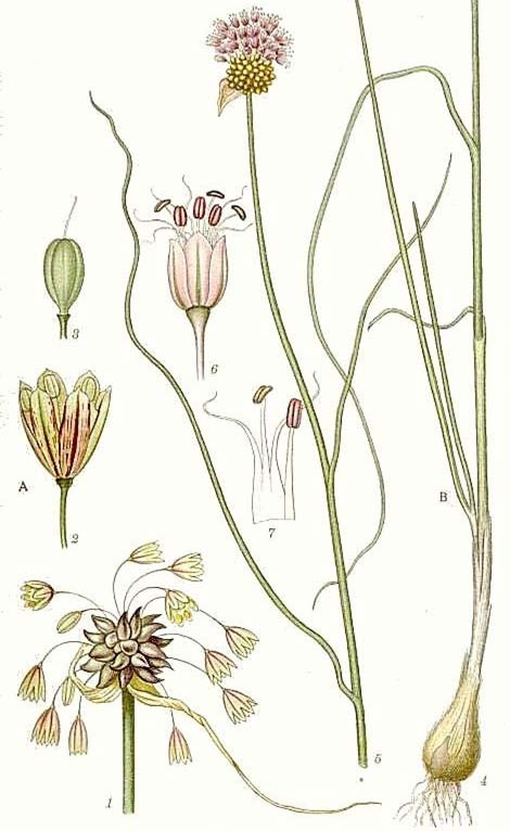 lliaceae ONION iennial or perennial herbs Often with bulb () at base, surrounded by dry leaves () Onion-like smell Simple, narrow leaves in basal rosette () Inflorescence a terminal umbel (),