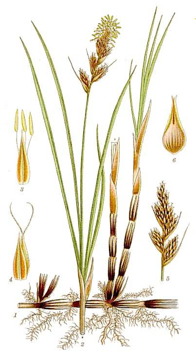 yperaceae SEGE F Herbaceous monocot Stems often as rhizomes () and upright culms () Stems 3-sided, without nodes, solid, not hollow Leaves linear, grass-like, with parallel veins, arranged at 3
