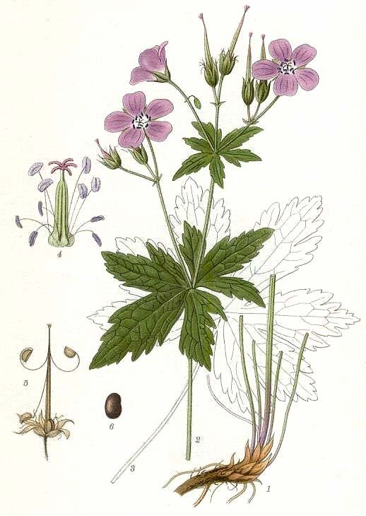 Geraniaceae GERNIUM Herbs Often with aromatic oil glands and hairs, fragrant Leaves simple or compound, usually palmately veined and lobed, alternate () Stipules common Inflorescence a cyme, umbel or