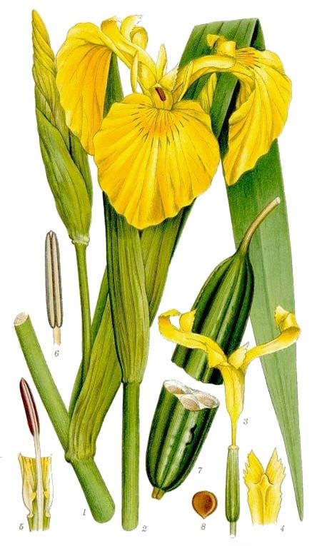 Iridaceae IRIS Herbs or shrubs Rhizomes, corms, and bulbs common Leaves sometimes unifacial, or simple and linear-narrow, often sheathing at base, parallel-veined () Inflorescence terminal, spike,