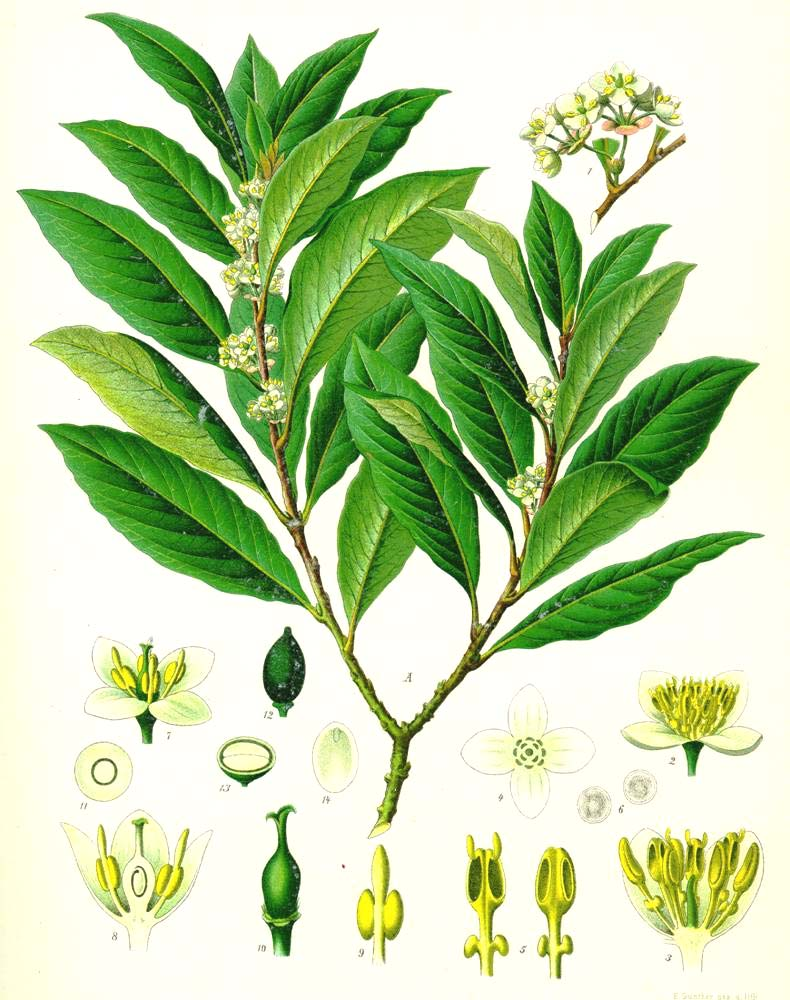 Lauraceae LUREL Trees and shrubs With aromatic oil glands, leaves often punctate Leaves simple, evergreen, alternate, rarely lobed Stipules absent Inflorescence axillary, cyme or solitary flowers ()