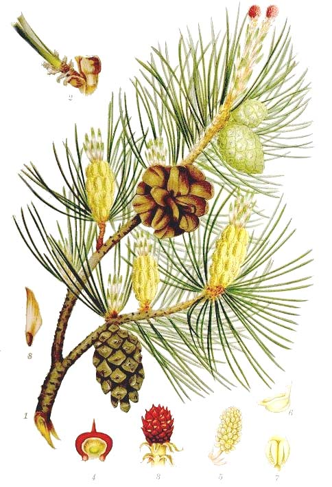 Pinaceae PINE Monoecious trees (rarely shrubs) Usually evergreen ark not falling off in long strips Resinous, fragrant Leaves as linear needles, sometimes flattened, 1-10 in fascicles on branches,