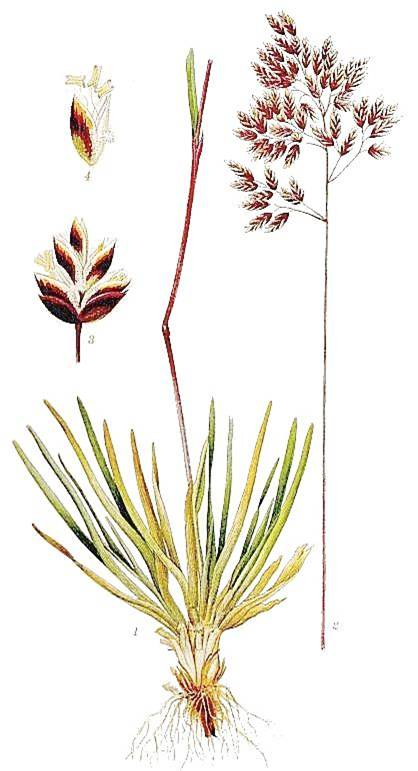 Poaceae GRSS Herbaceous or seldom woody Stems often rhizomatous and/or with erect culms (, shoots) Stems round, hollow, with nodes () Leaves linear, with parallel venation, sheathing, with ligule at