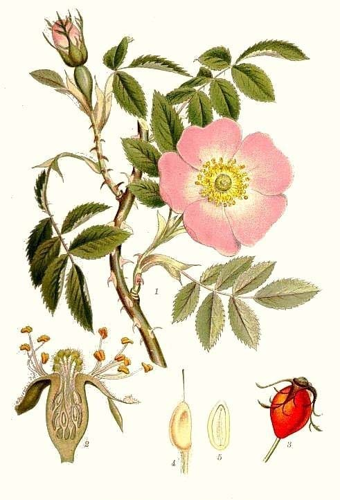Rosaceae ROSE & PPLE Herbaceous or woody, often shrubs or trees Stipules () at base of each leaf Sepals 5, petals 5 (), free Hypanthium (, cup-like structure composed from the fused petal, sepal, and