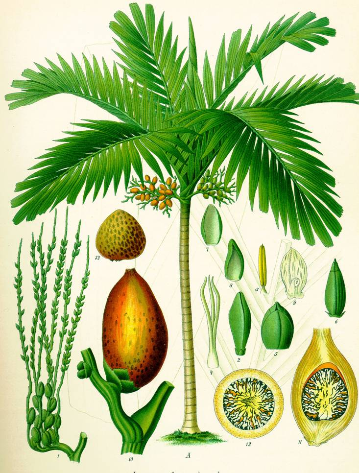 recaceae PLM Trees or shrubs, sometimes lianas or herbs Stem usually unbranched, without secondary growth Leaves large, pinnately or palmately divided (), rarely simple Sheath at base of leaf