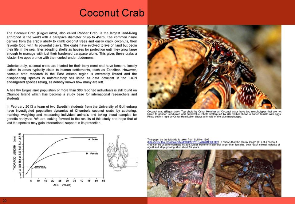 The crabs have evolved to live on land but begin their life in the sea, later adopting shells as houses for protection until they grow large enough to manage with just their hardened carapace alone.