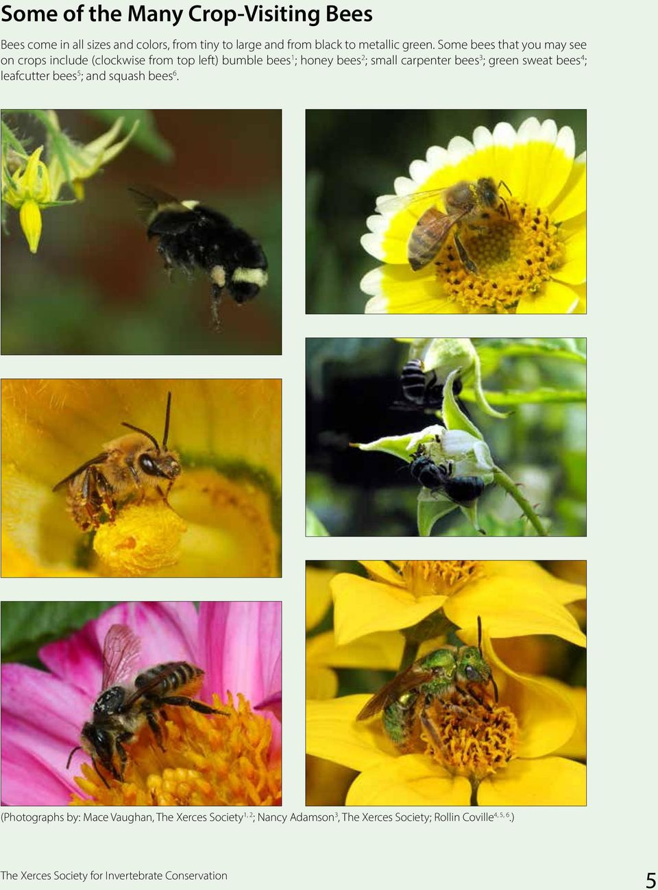 Some bees that you may see on crops include (clockwise from top left) bumble bees 1 ; honey bees 2 ; small carpenter