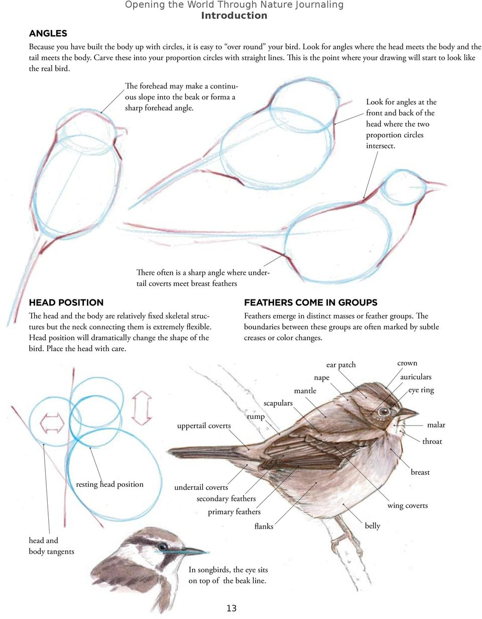 This is the point where your drawing will start to look like the real bird. The forehead may make a continuous slope into the beak or forma a sharp forehead angle.