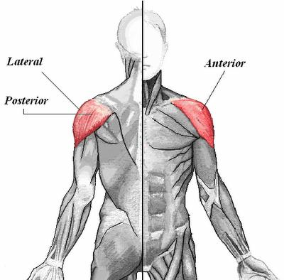 Deltoid: Posterior Origin Insertion Action Spine of the scapula Innervation