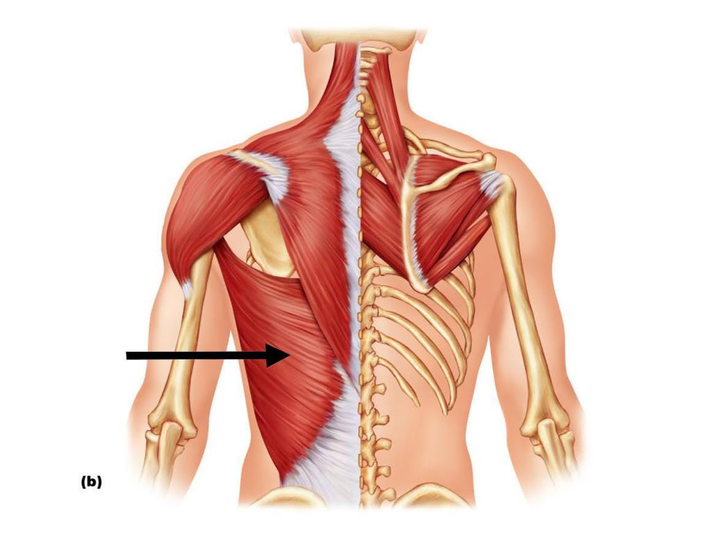 Latissimus Dorsi Origin Insertion Action Thoracolumbar fascia, spinous processes of lower thoracic and lumbar vertebrae, posterior iliac crest, lower 4 ribs and inferior angle of