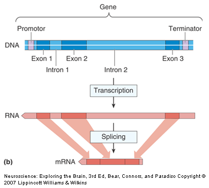 THE NUCLEUS The enzyme RNA polymerase binds to the promoter of the gene in order to initiate transcription Exons: coding regions Introns: