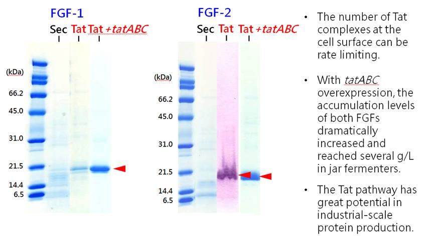 Corynex : IGF-1 Quality As an example of pathway preference and flexibility, the Tat, but not the Sec, pathway was able to secrete two fibroblast growth factor (FGF) proteins.