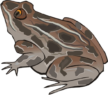 Fact Card #5 Fact Card #6 When tadpoles grow into adult frogs, they lose their tail and gills. They no longer breathe underwater. They grow lungs that breathe air.