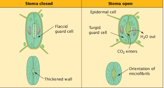 Stomata are surrounded by two guard cells.