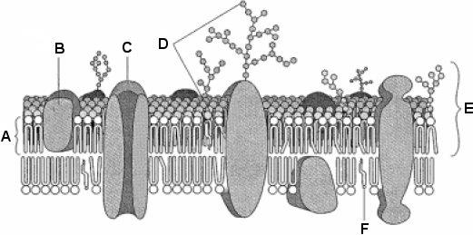 Describe, with the aid of diagrams, the fluid mosaic model of membrane structure. The structure of all membranes is basically the same.