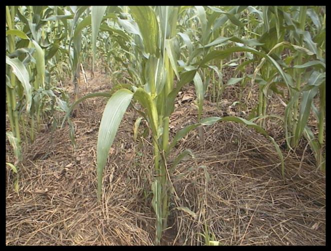Conservation agriculture with cover crop Conservation agriculture with trees (also called
