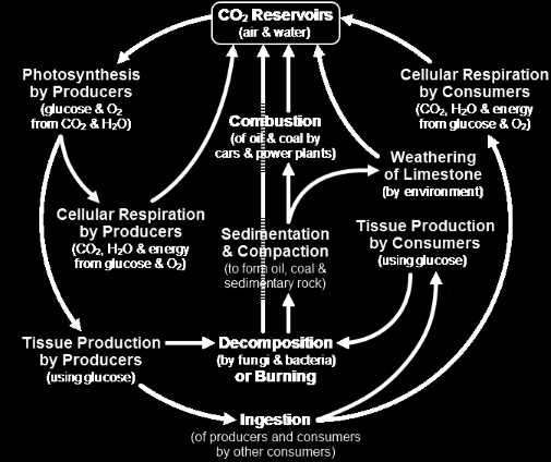 8. A diagram of the carbon cycle is shown below. Which of the following is exclusively a natural source of carbon dioxide? A. decomposition B. photosynthesis C. coal power plants D.