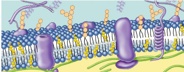 Cell membrane defines cell Cell membrane separates living cell from aqueous environment thin barrier = 8nm thick Controls