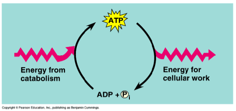 Ex. in a muscle cell, the entire amount of ATP is recycled once each minute, over 10 million ATP consumed and