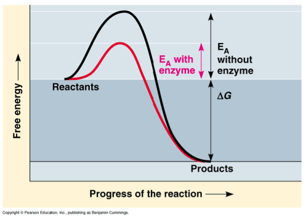 Enzymes lower the barrier of