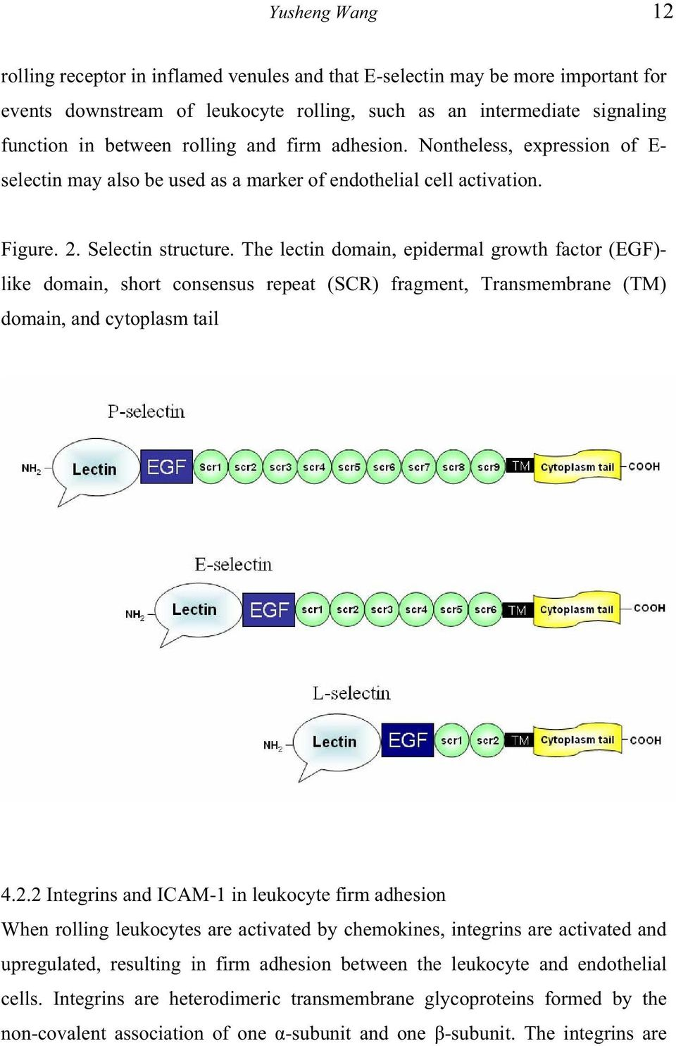 The lectin domain, epidermal growth factor (EGF)- like domain, short consensus repeat (SCR) fragment, Transmembrane (TM) domain, and cytoplasm tail 4.2.