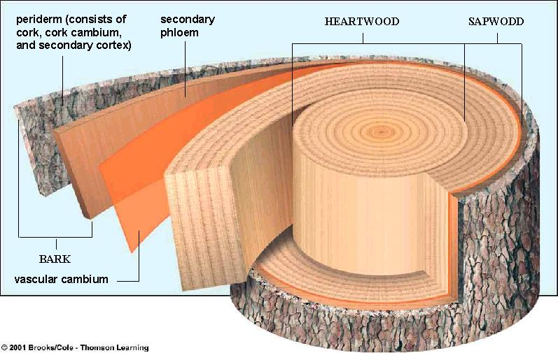 Wood Wood & Bark Accumulated secondary xylem Heartwood No longer transporting water Waste