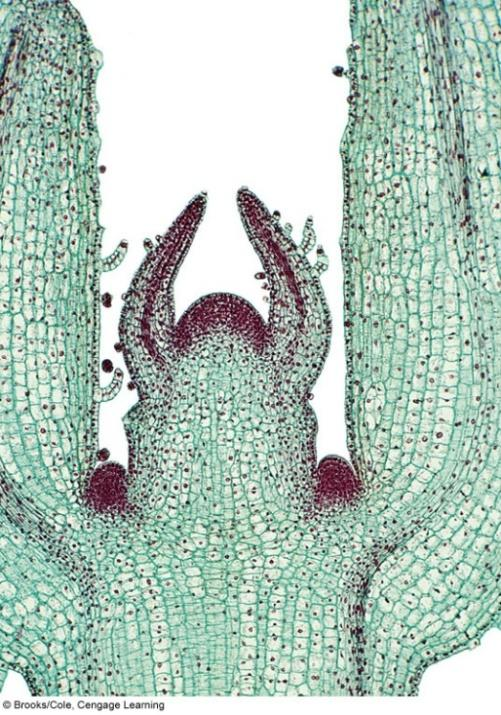 Tissue Development Development of meristems Ground meristem