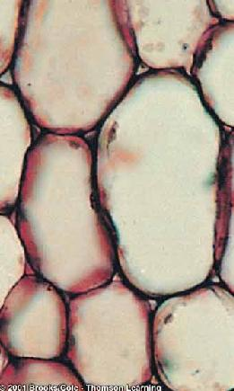 Ground Tissue Parenchyma Soft moist tissues Roots, stems, leaves,