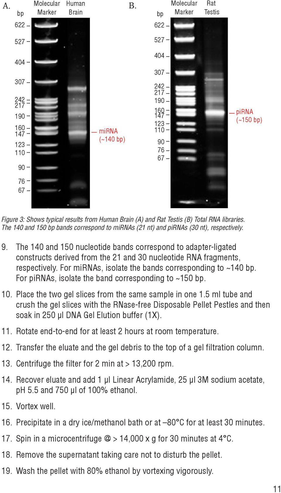 results from Human Brain (A) and Rat Testis (B) Total RNA libraries. The 140 and 150 bp bands correspond to mirnas (21 nt) and pirnas (30 nt), respectively. 9.