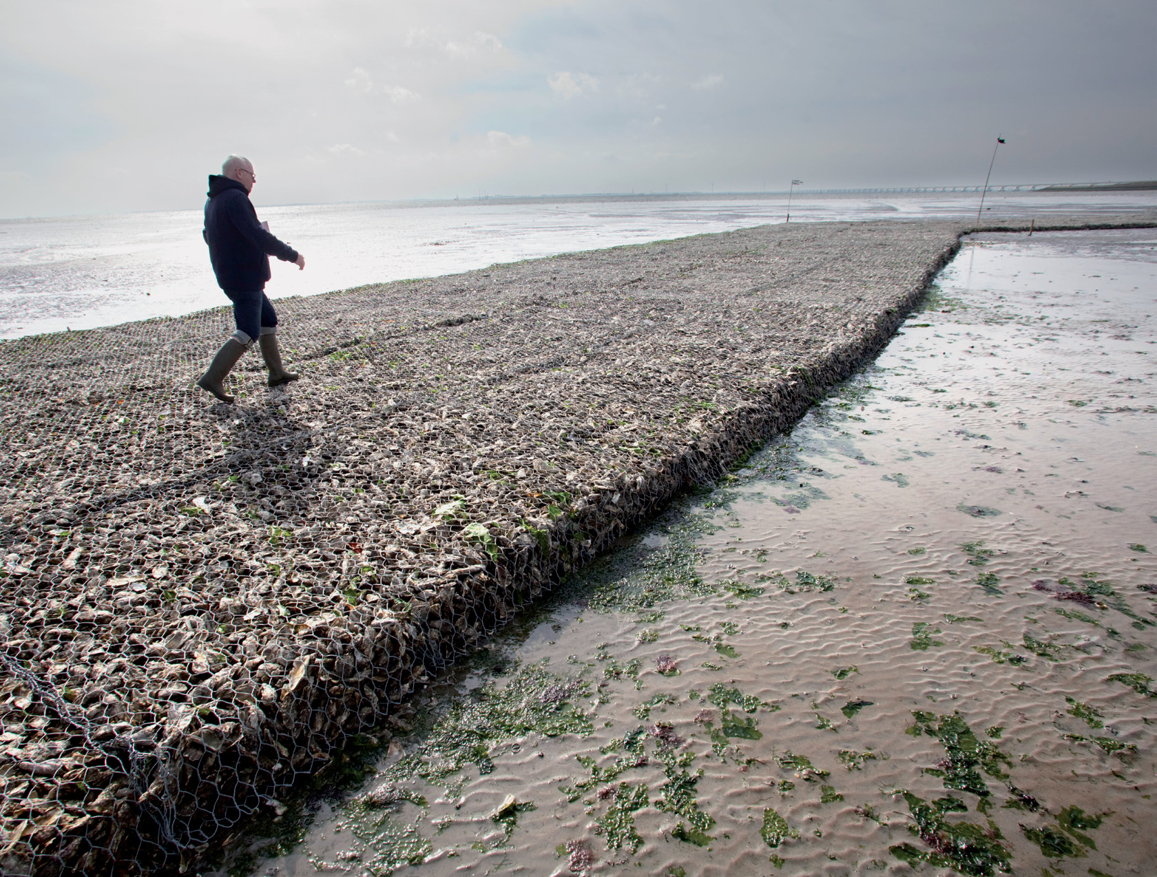 An oyster reef in the Eastern Scheldt estuary will dissipate wave energy and trap
