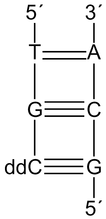 is complementary to that base. Thymine (T) is complementary to adenine (A) and guanine (G) is complementary to cytosine (C) because they can form hydrogen bonds with each other (Figure 3).