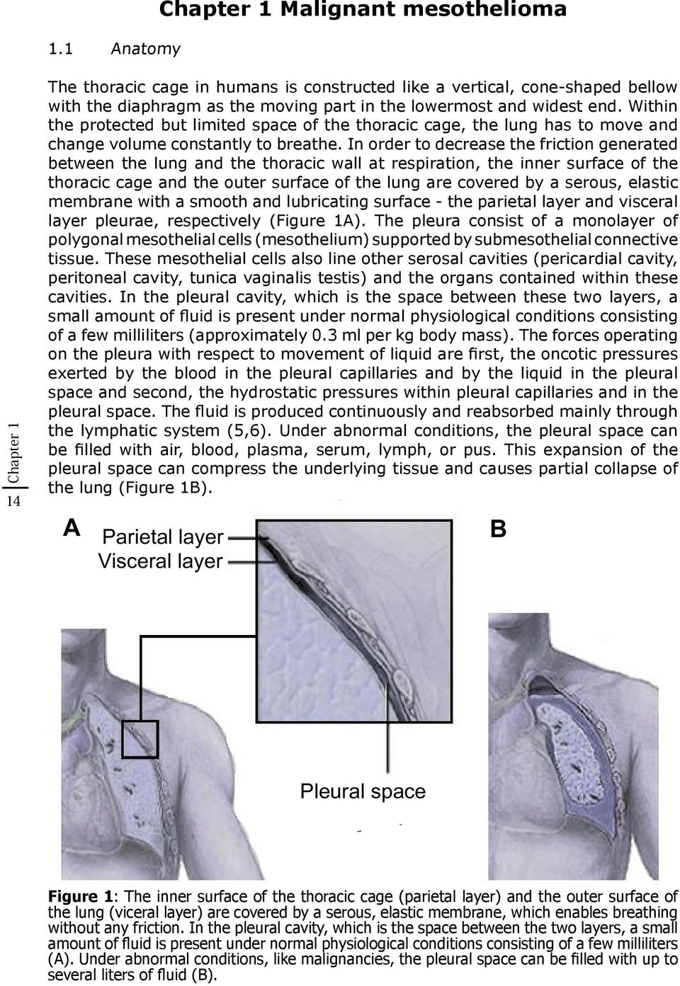 In order to decrease the friction generated between the lung and the thoracic wall at respiration, the inner surface of the thoracic cage and the outer surface of the lung are covered by a serous,