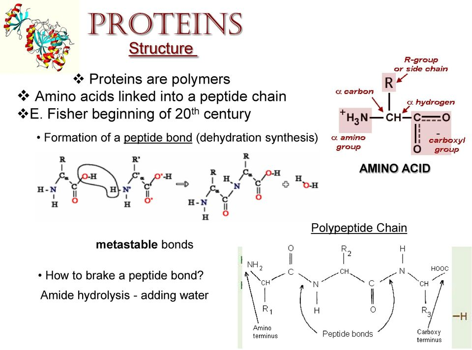 Fisher beginning of 20 th century Formation of a peptide bond