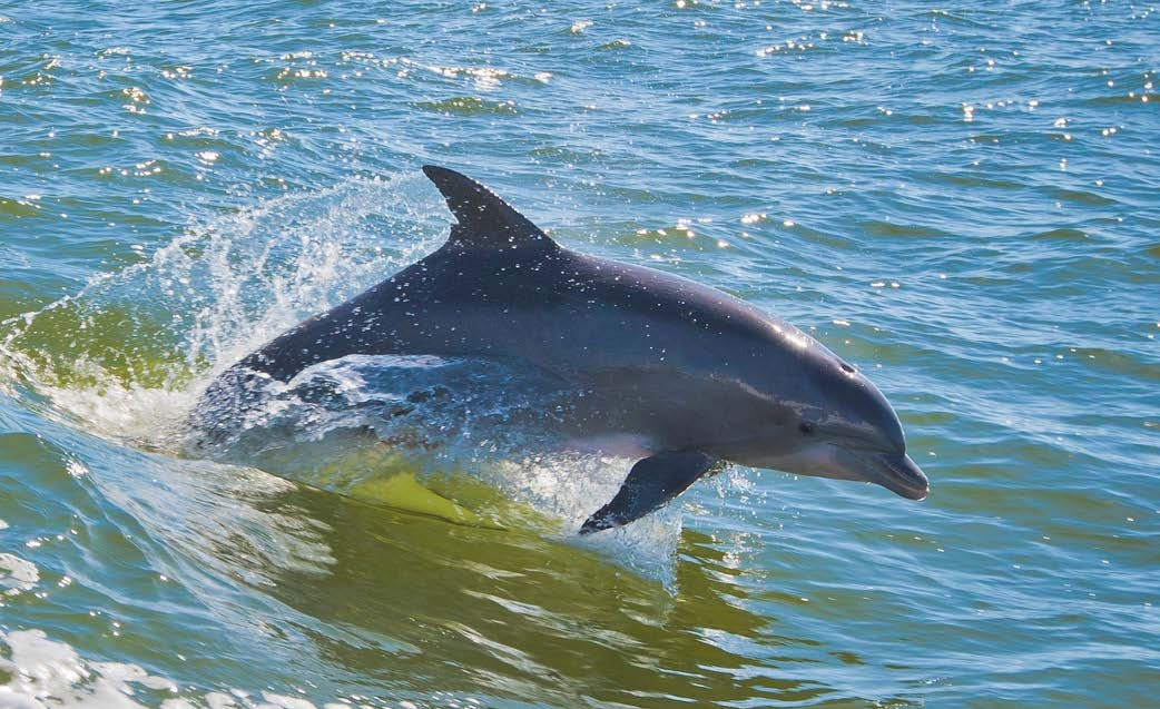 A bottlenose dolphin near the Mississippi coast, October 2011. Marine mammals The trustees and BP have investigated potential impacts to marine mammals in the Gulf.