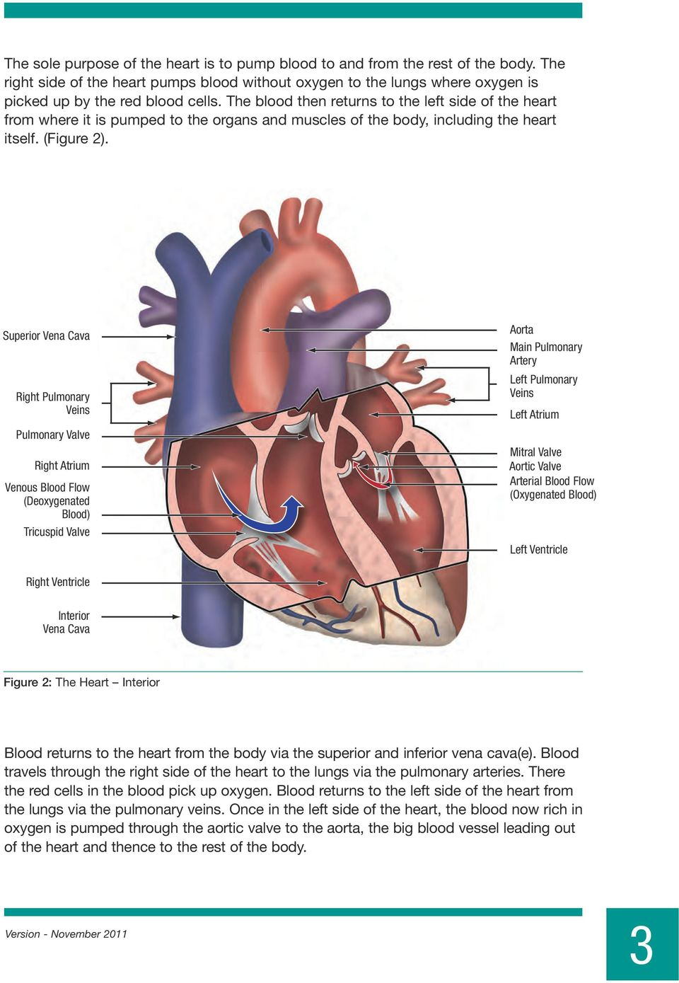 Superior Vena Cava Right Pulmonary Veins Aorta Main Pulmonary Artery Left Pulmonary Veins Left Atrium Pulmonary Valve Right Atrium Venous Blood Flow (Deoxygenated Blood) Tricuspid Valve Mitral Valve
