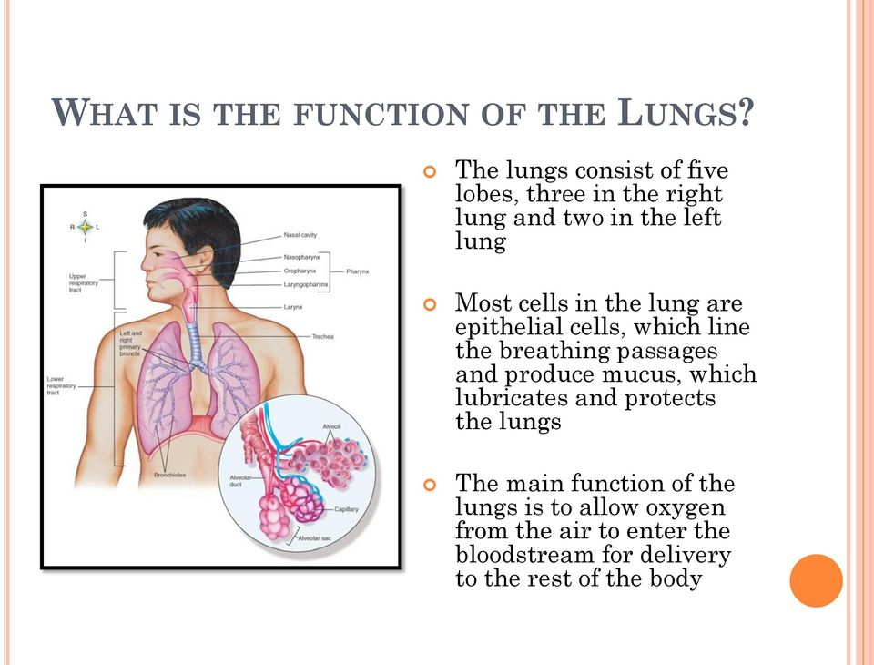 in the lung are epithelial cells, which line the breathing passages and produce mucus, which
