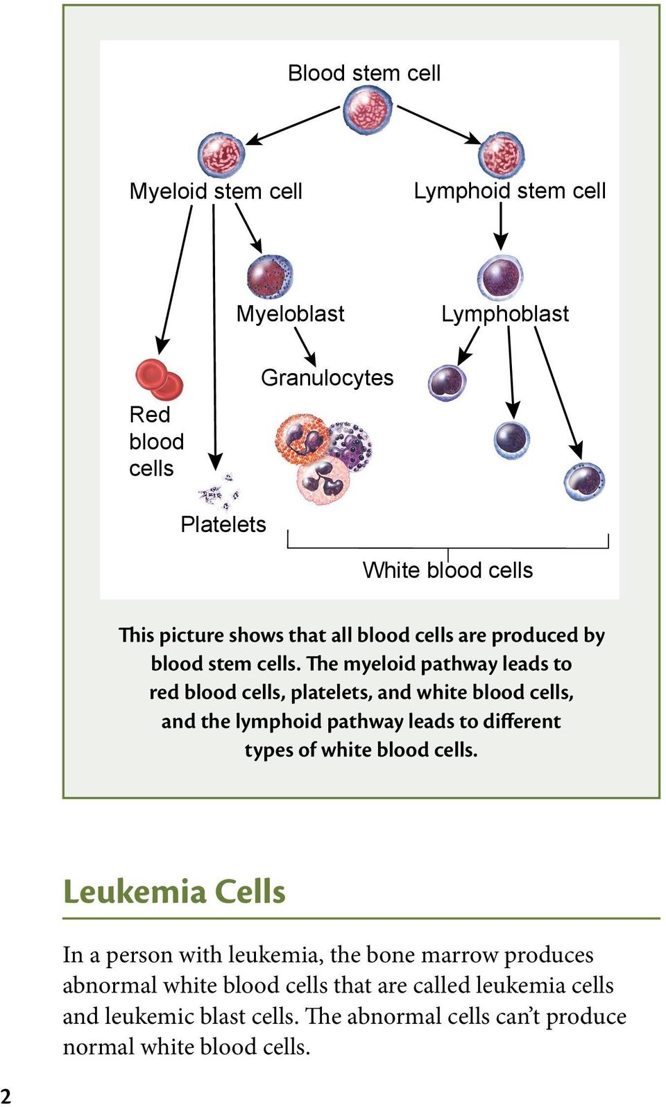The myeloid pathway leads to red blood cells, platelets, and white blood cells, and the lymphoid pathway leads to different types of white