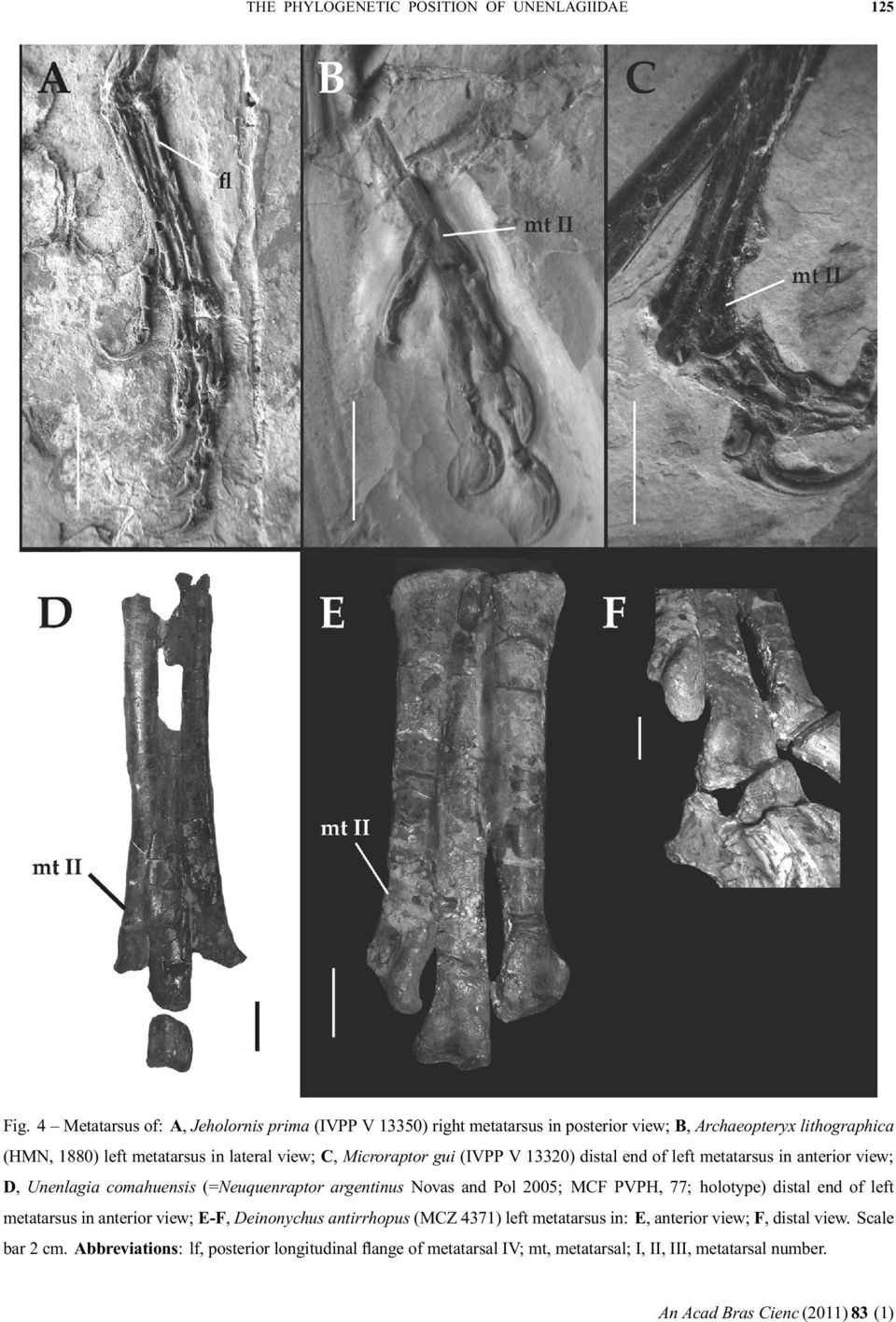 The same condition has been reported for Buitreraptor and Rahonavis (Forster et al. 1998, Makovicky et al. 2005; Fig. 4). In addition, Archaeopteryx (HMN 1880, Paul 2002; Fig.