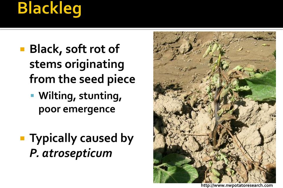 poor emergence Typically caused by P.