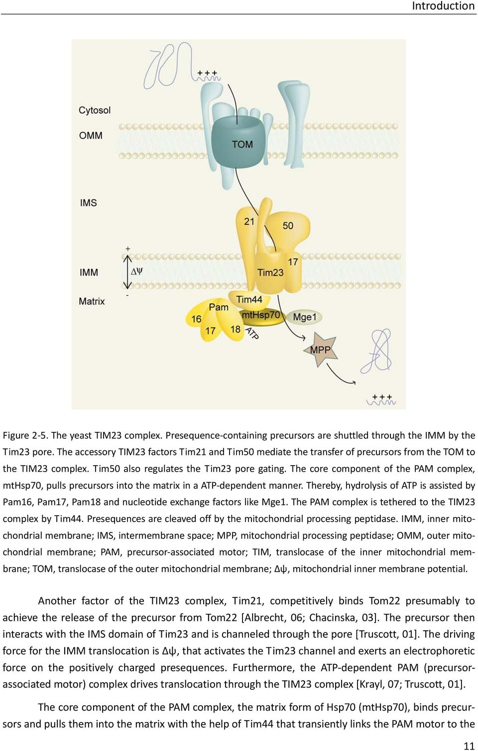 The core component of the PAM complex, mthsp70, pulls precursors into the matrix in a ATP dependent manner.